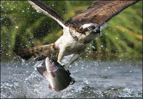 reflexion cristiana aguila pescadora